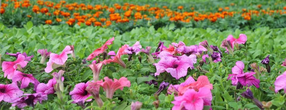 Выращивание любых видов рассады цветочных и овощных культур